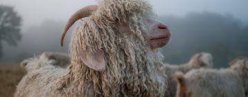 Nos chèvres angora