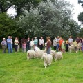 Les chèvres angora