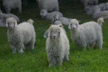 Chèvres angora de race pure et sélectionnées