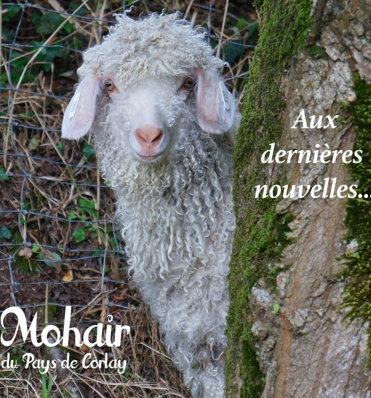 Les actualités du Mohair du Pays de Corlay