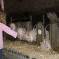 Distribution de foin aux chèvres