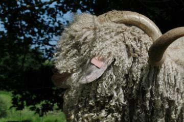 Vente de boucs et de chèvres angora