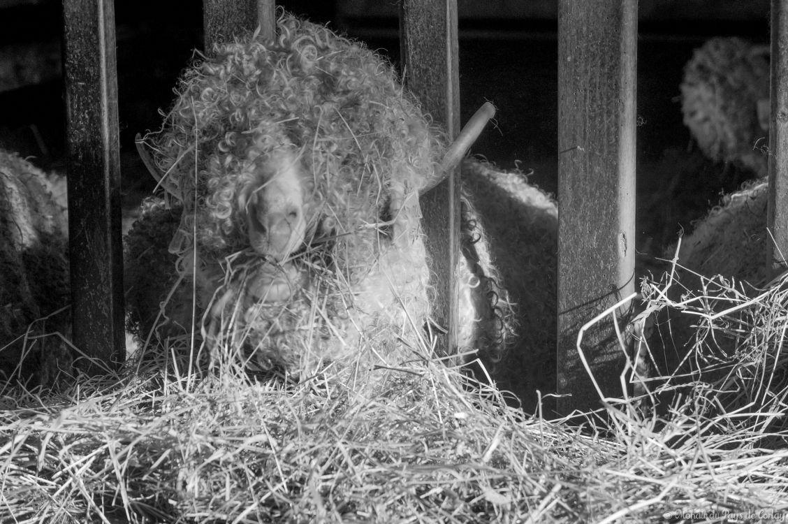 Les chèvres avant la tonte de février